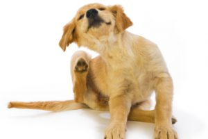 dog-scratching-behind-ears1[1]